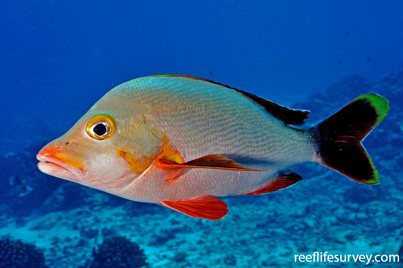 Lutjanus gibbus, Adult, French Polynesia,  Photo: Rick Stuart-Smith