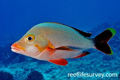 Lutjanus gibbus: Adult, French Polynesia,  Photo: Rick Stuart-Smith