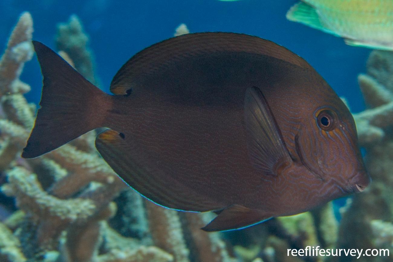 Acanthurus nigroris, Coral Sea, Australia,  Photo: Rick Stuart-Smith