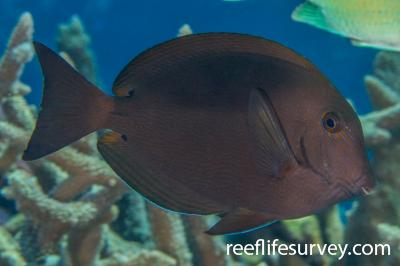 Acanthurus nigroris: Coral Sea, Australia,  Photo: Rick Stuart-Smith