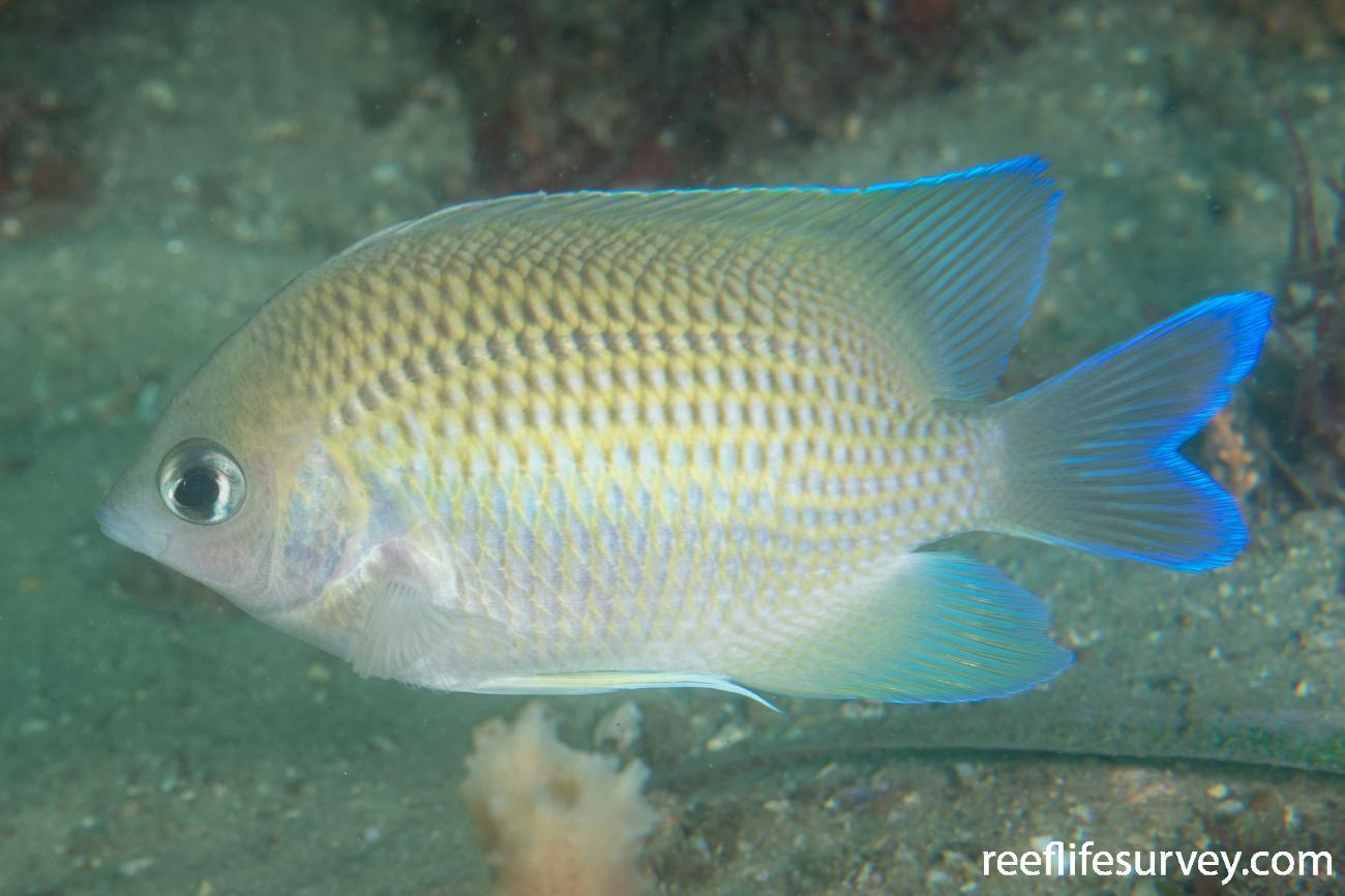 Mecaenichthys immaculatus, Port Stephens, NSW,  Photo: Rick Stuart-Smith