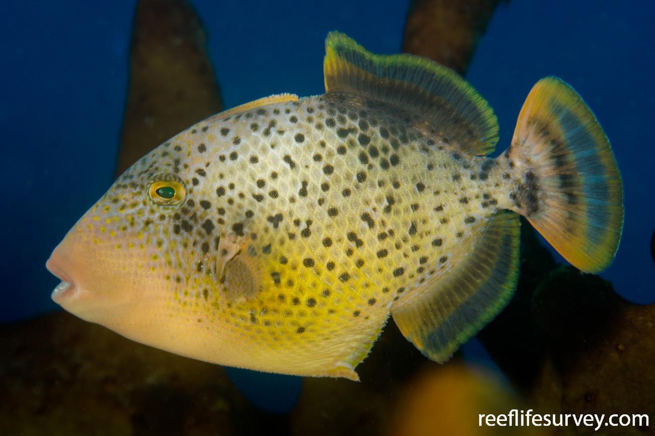 Pseudobalistes flavimarginatus, Juvenile, Bali, Indonesia,  Photo: Ian Shaw