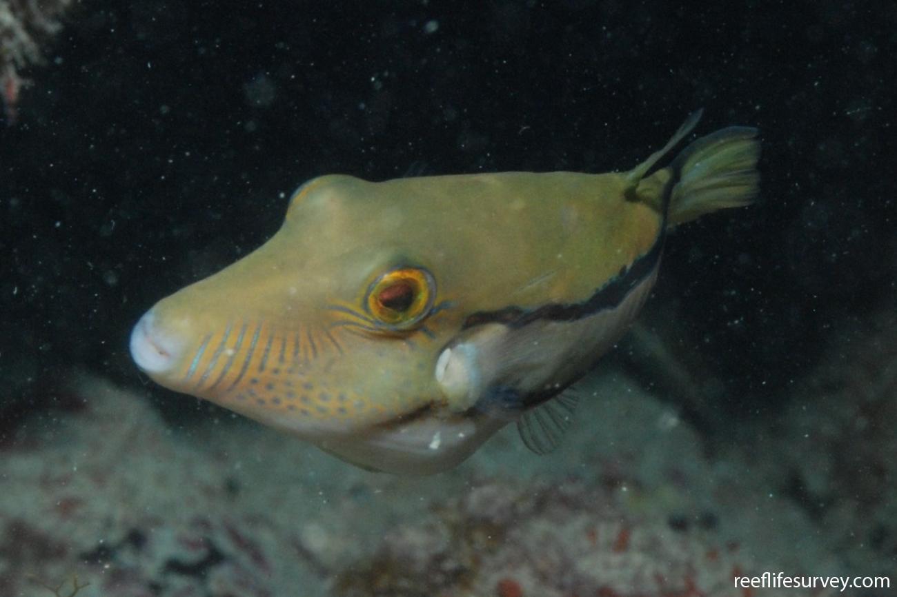 Canthigaster figueiredoi, Abrolhos, Bahia, Brazil,  Photo: Graham Edgar