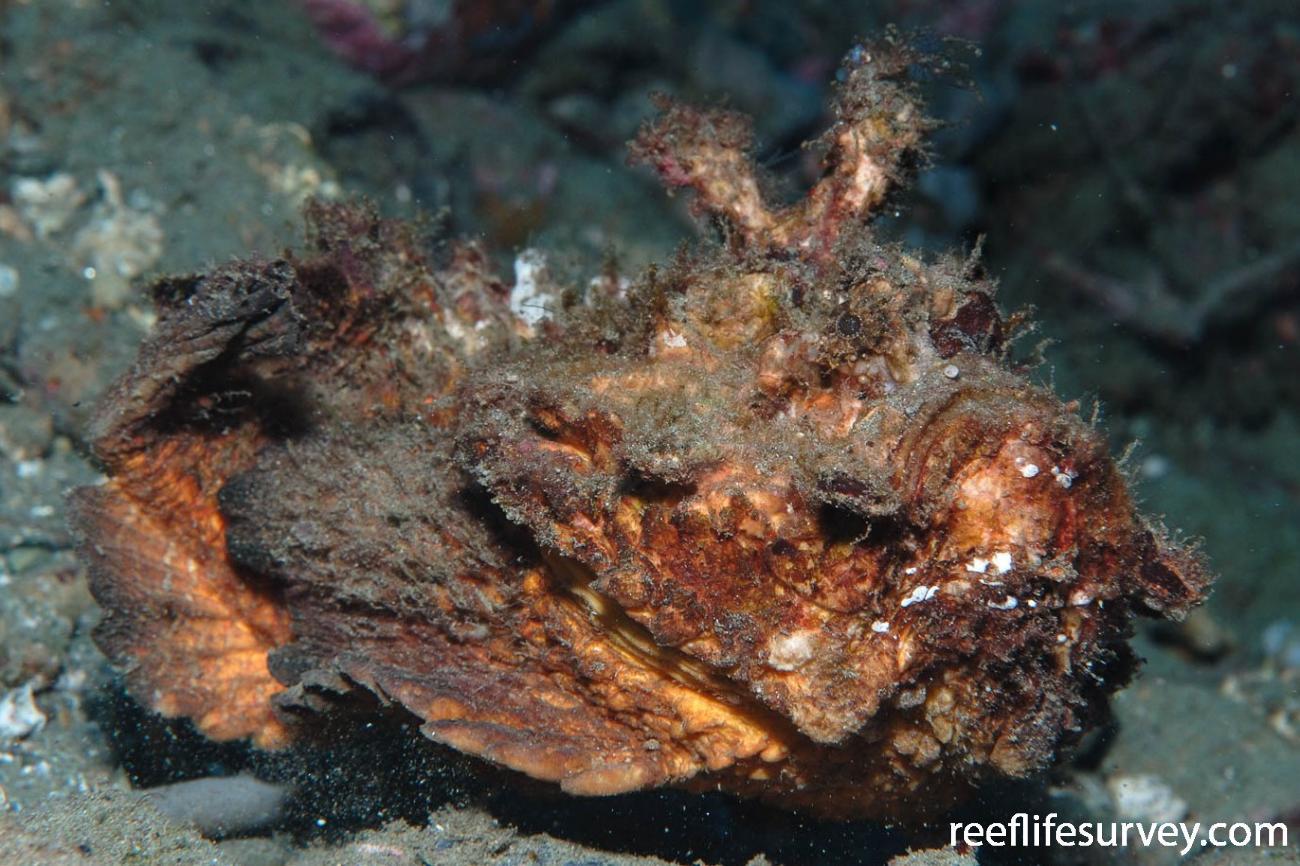 Synanceia horrida, Minerva Reef,  Photo: Graham Edgar