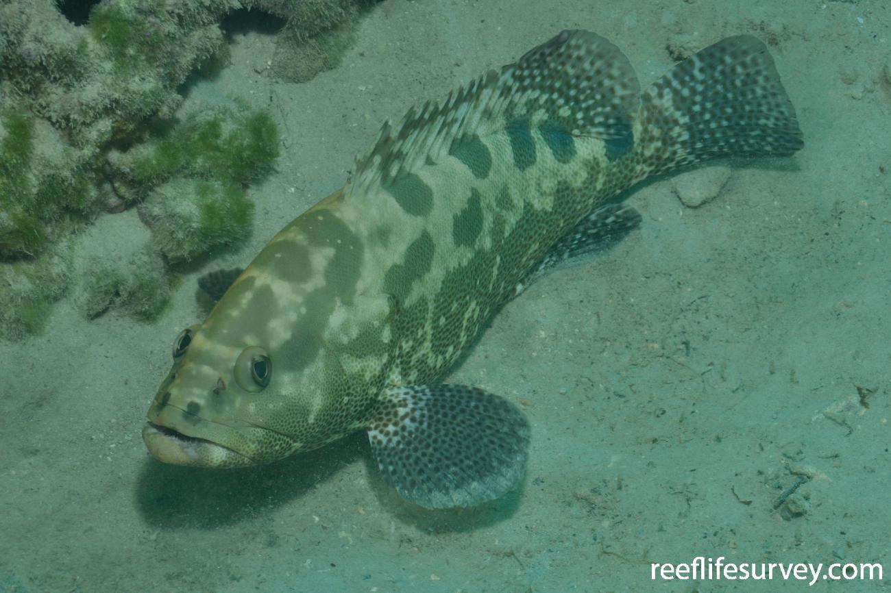 Epinephelus polyphekadion, Adult, Lord Howe Island, Australia,  Photo: Rick Stuart-Smith