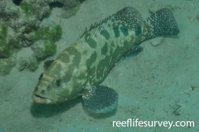 Epinephelus polyphekadion: Adult, Lord Howe Island, Australia,  Photo: Rick Stuart-Smith