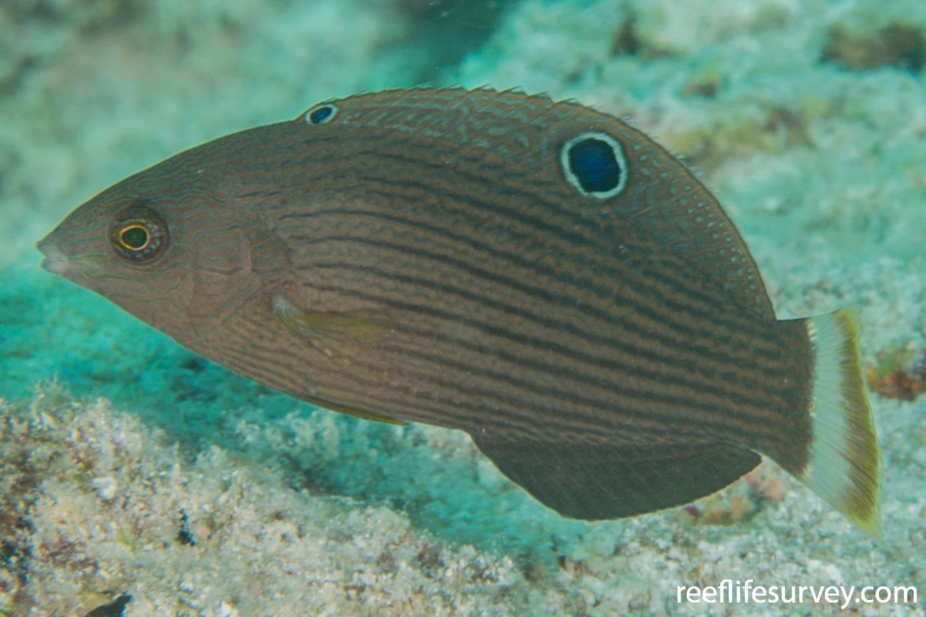 Halichoeres marginatus, Female.  Photo: Rick Stuart-Smith