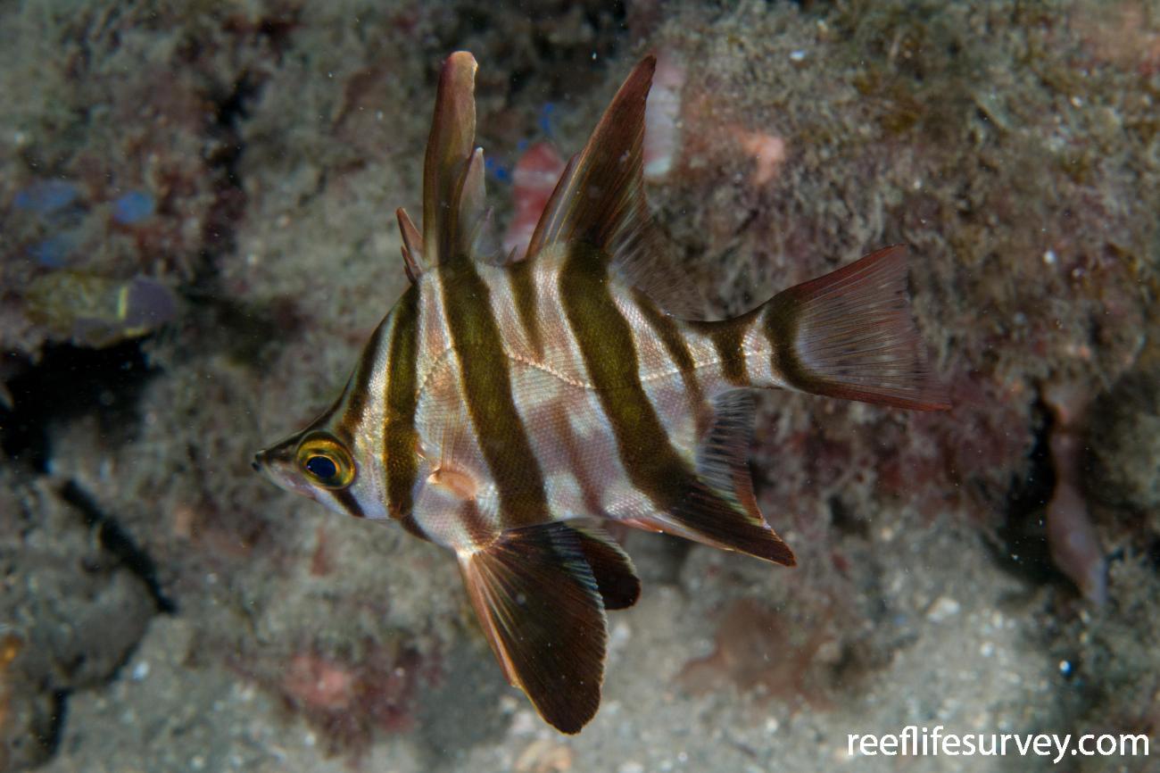 Enoplosus armatus, Juvenile.  Photo: Rick Stuart-Smith
