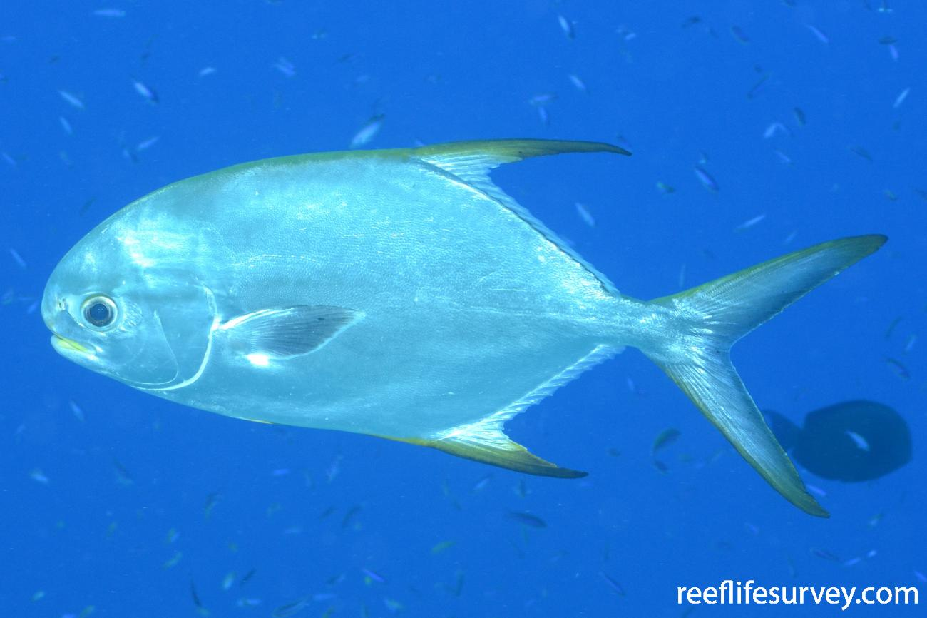 Trachinotus blochii, Bouganville Reef, Coral Sea,  Photo: Graham Edgar