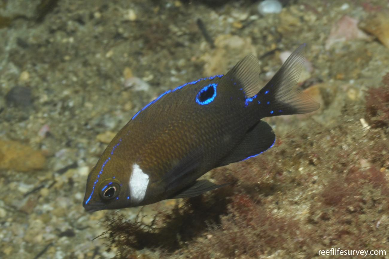 Parma microlepis, Juvenile, Port Stephens, NSW,  Photo: Rick Stuart-Smith