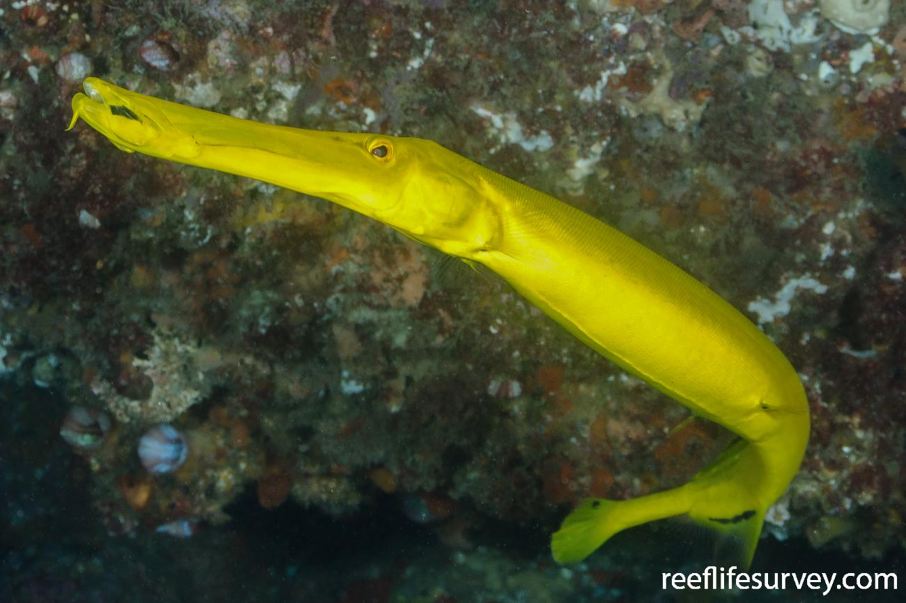 Aulostomus chinensis, Yellow phase, NSW, Australia,  Photo: Ian Shaw