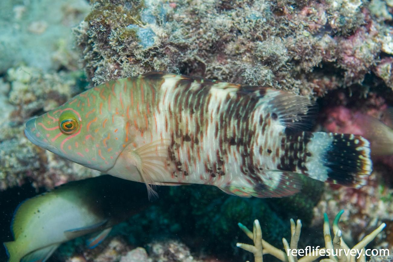 Cheilinus trilobatus, Juvenile, Great Barrier Reef, Cairns, QLD, Australia,  Photo: Andrew Green
