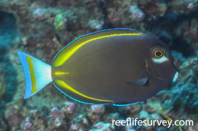 Acanthurus nigricans: French Polynesia,  Photo: Rick Stuart-Smith