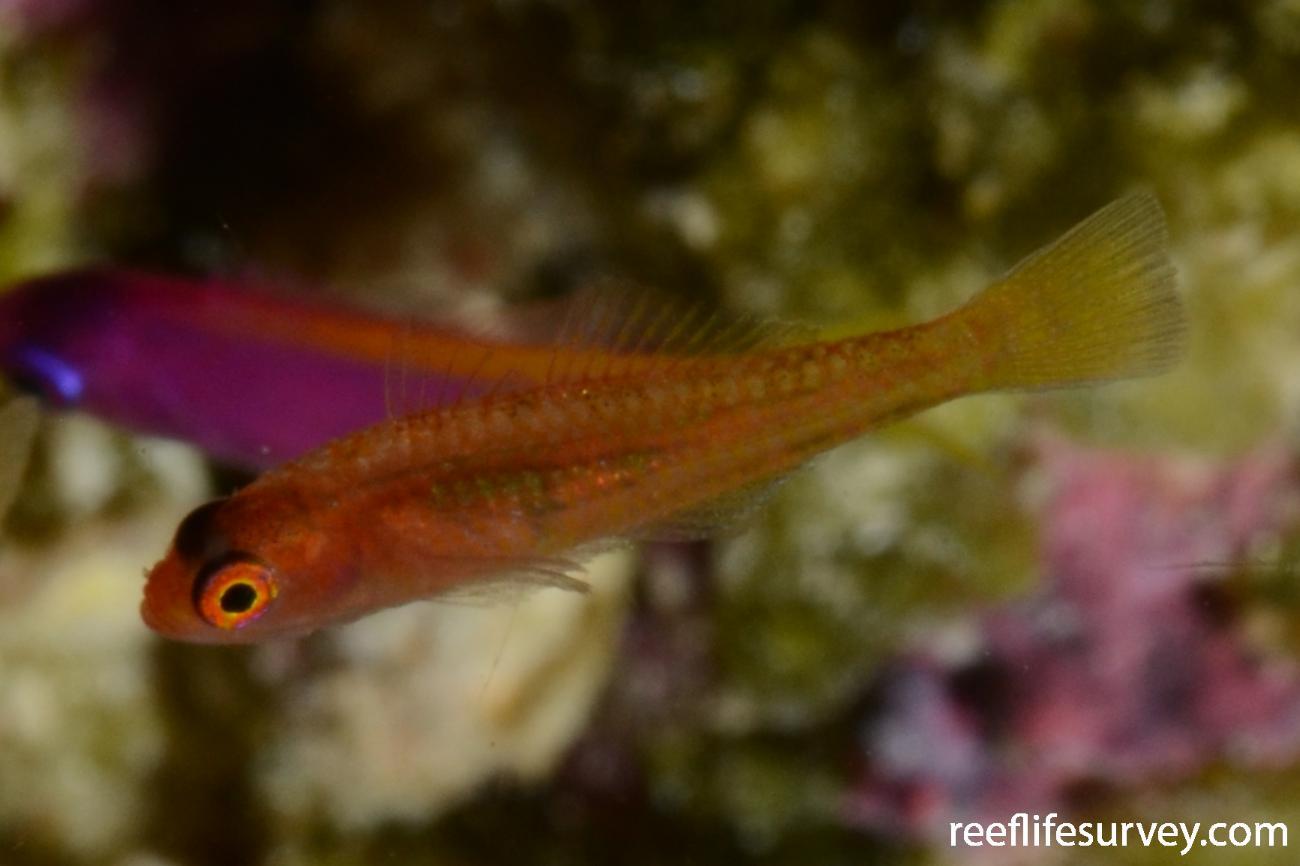 Trimma sp. [coral sea], Coral Sea, Australia,  Photo: Graham Edgar