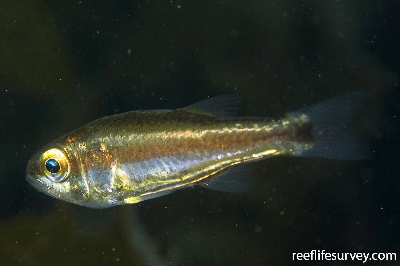Siphamia cephalotes, Eden, NSW,  Photo: Andrew Green