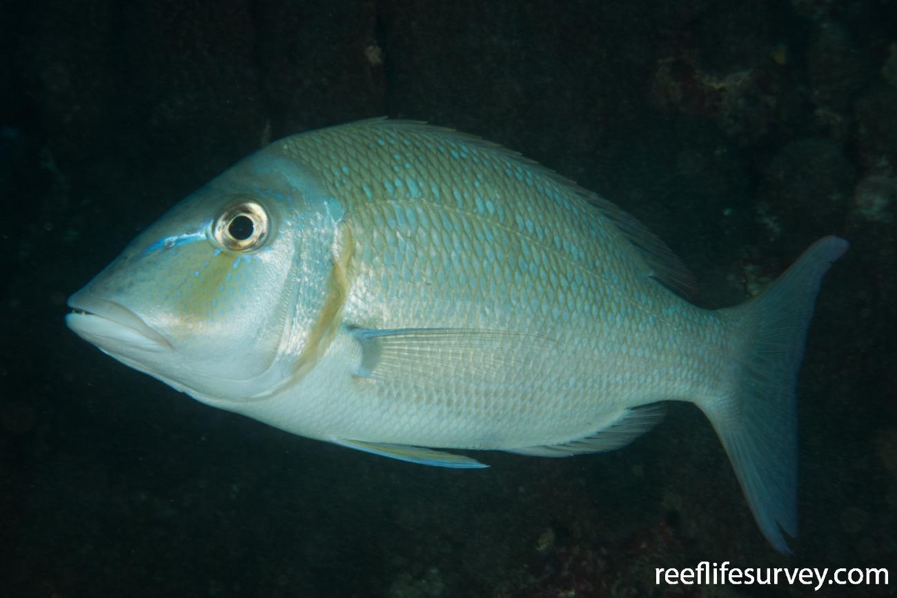 Lethrinus nebulosus, WA, Australia,  Photo: Rick Stuart-Smith