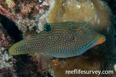 Canthigaster papua: Adult.  Photo: Rick Stuart-Smith