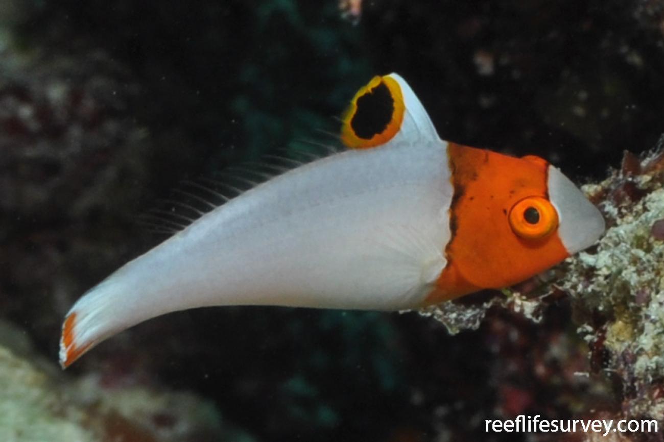 Cetoscarus ocellatus, Juvenile, QLD, Australia,  Photo: Rick Stuart-Smitn