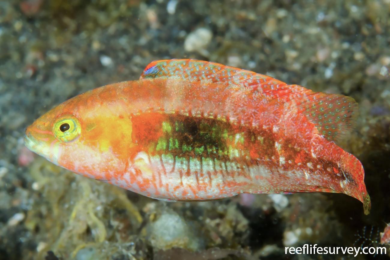 Oxycheilinus bimaculatus, Sulawesi, Indonesia,  Photo: Ian Shaw