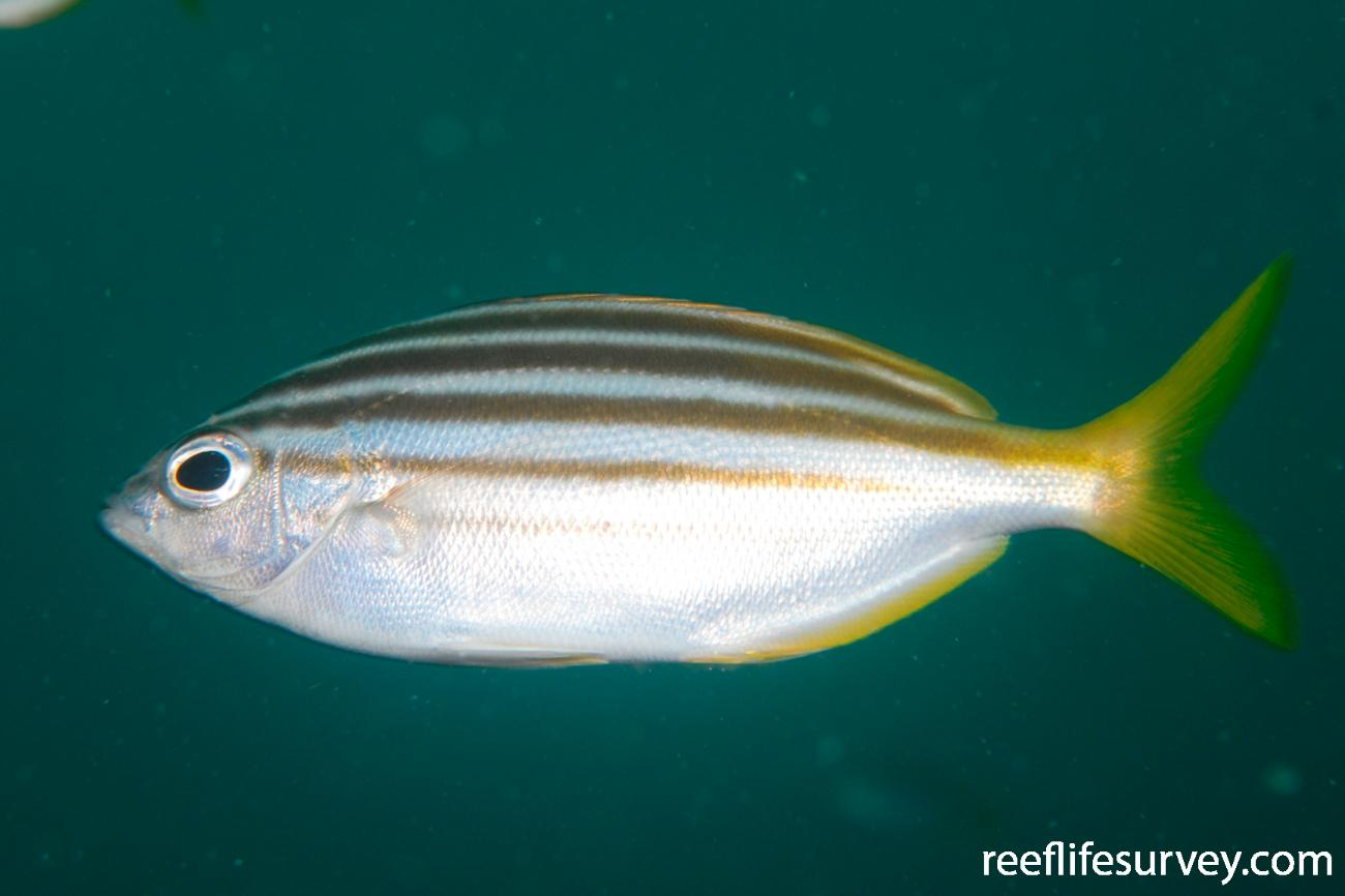 Atypichthys strigatus, Port Stephens, NSW,  Photo: Tom Davis