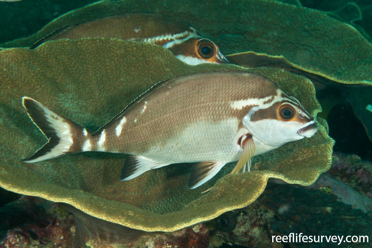 Cheilodactylus fuscus, Adult, Coffs Harbour, NSW,  Photo: Ian Shaw