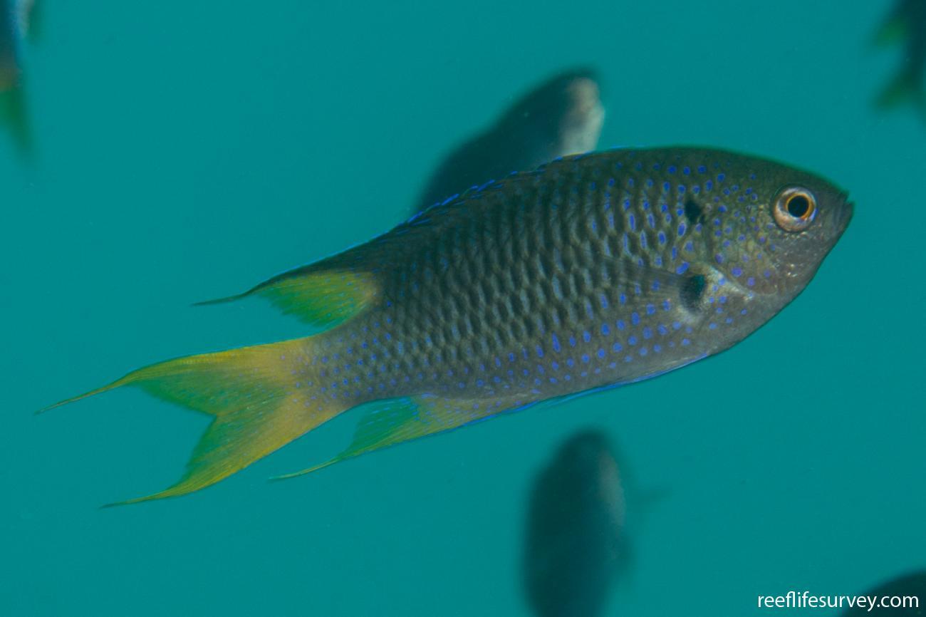 Neopomacentrus azysron, WA, Australia,  Photo: Rick Stuart-Smith