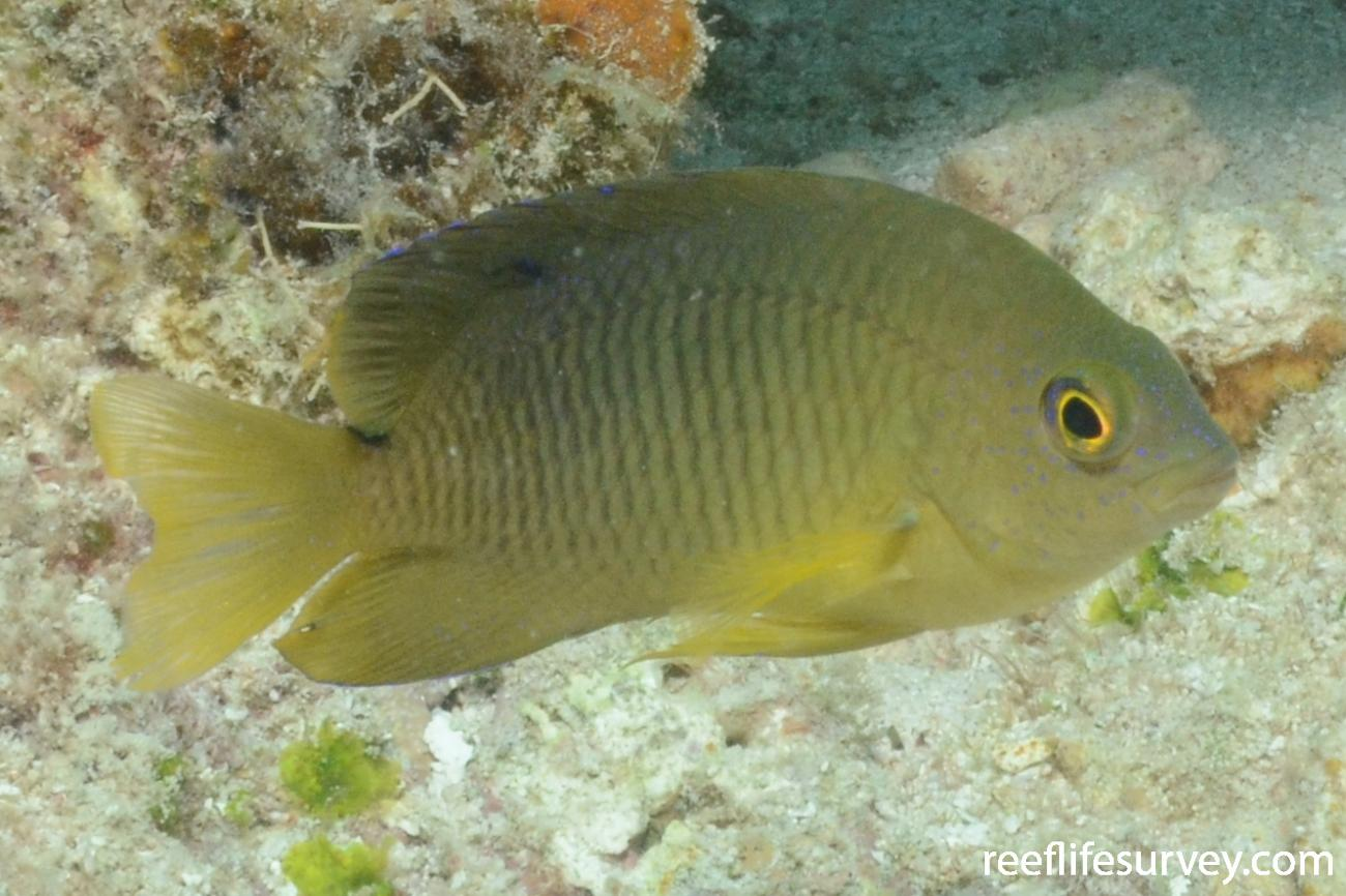 Stegastes variabilis, Florida Keys, USA,  Photo: Graham Edgar