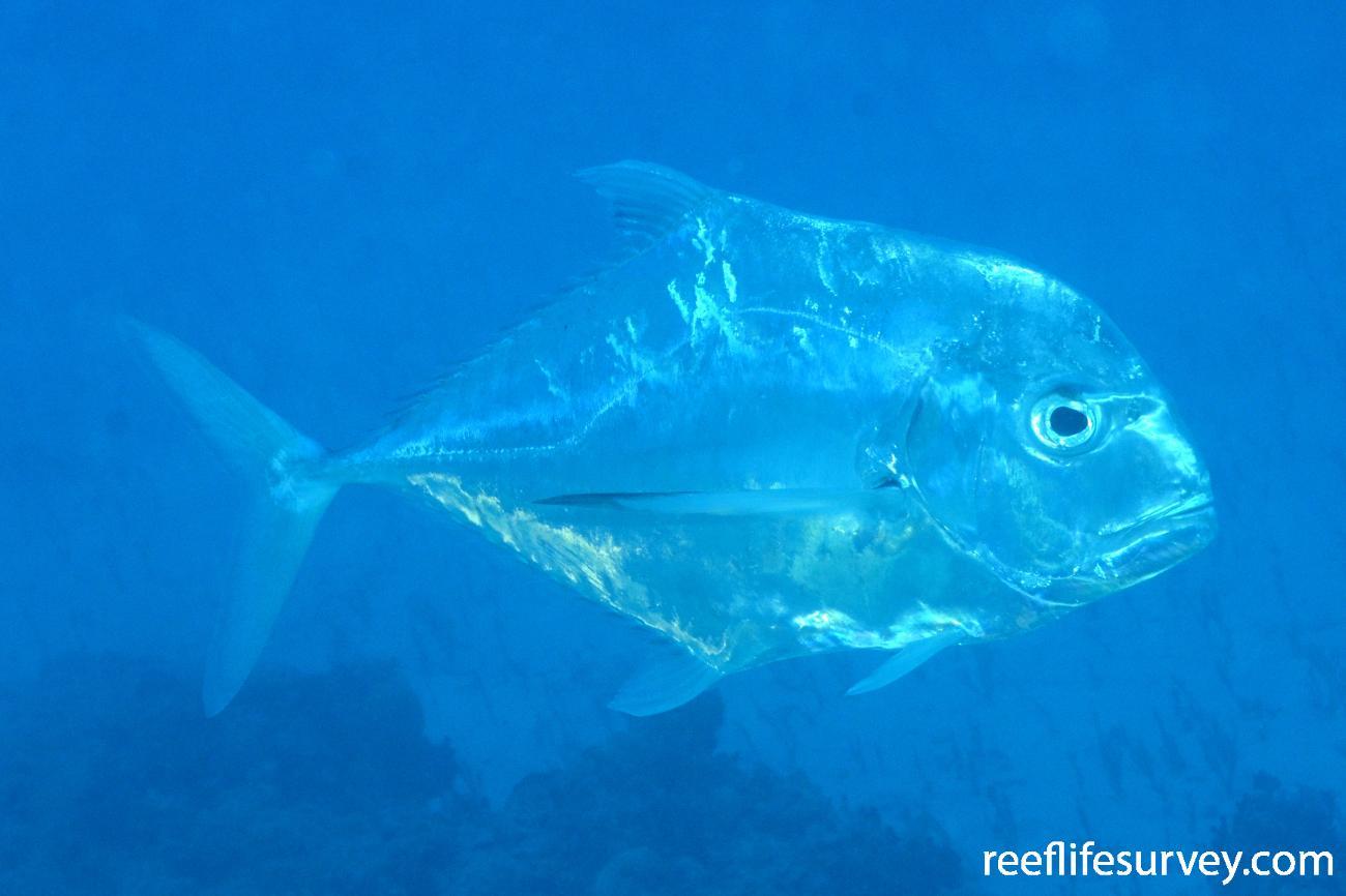 Alectis ciliaris, Minerva Reef, Pacific Ocean,  Photo: Graham Edgar