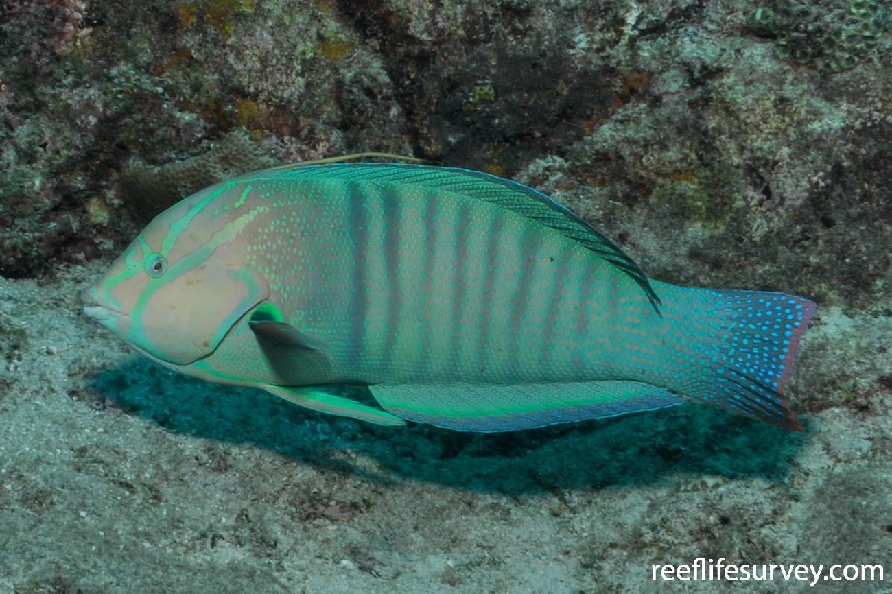 Coris formosa, Male, Seychelles,  Photo: Rick Stuart-Smith