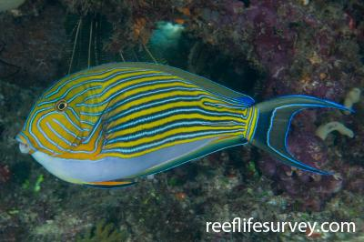 Acanthurus lineatus:  Photo: Andrew Green