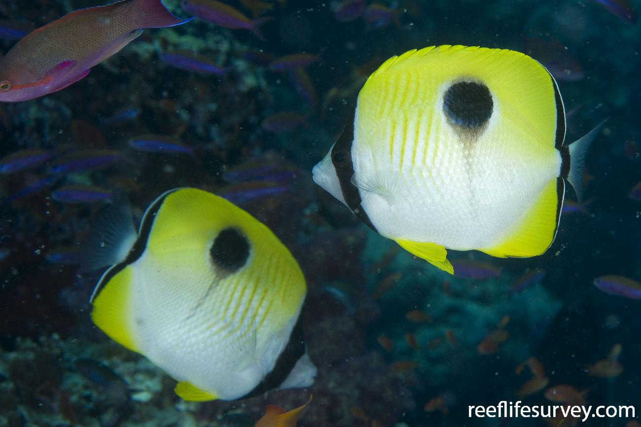 Chaetodon unimaculatus, Naigani Is, Fiji,  Photo: Andrew Green