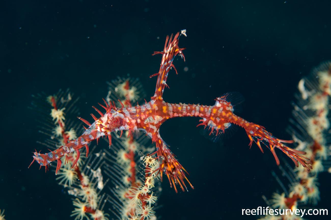 Solenostomus paradoxus, Juvenile, Bali, Indonesia,  Photo: Ian Shaw