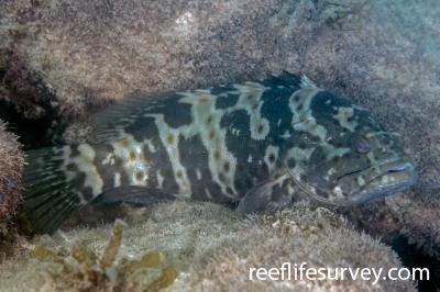 Epinephelus coioides: Juvenile, New South Wales, Australia,  Photo: Ian Shaw