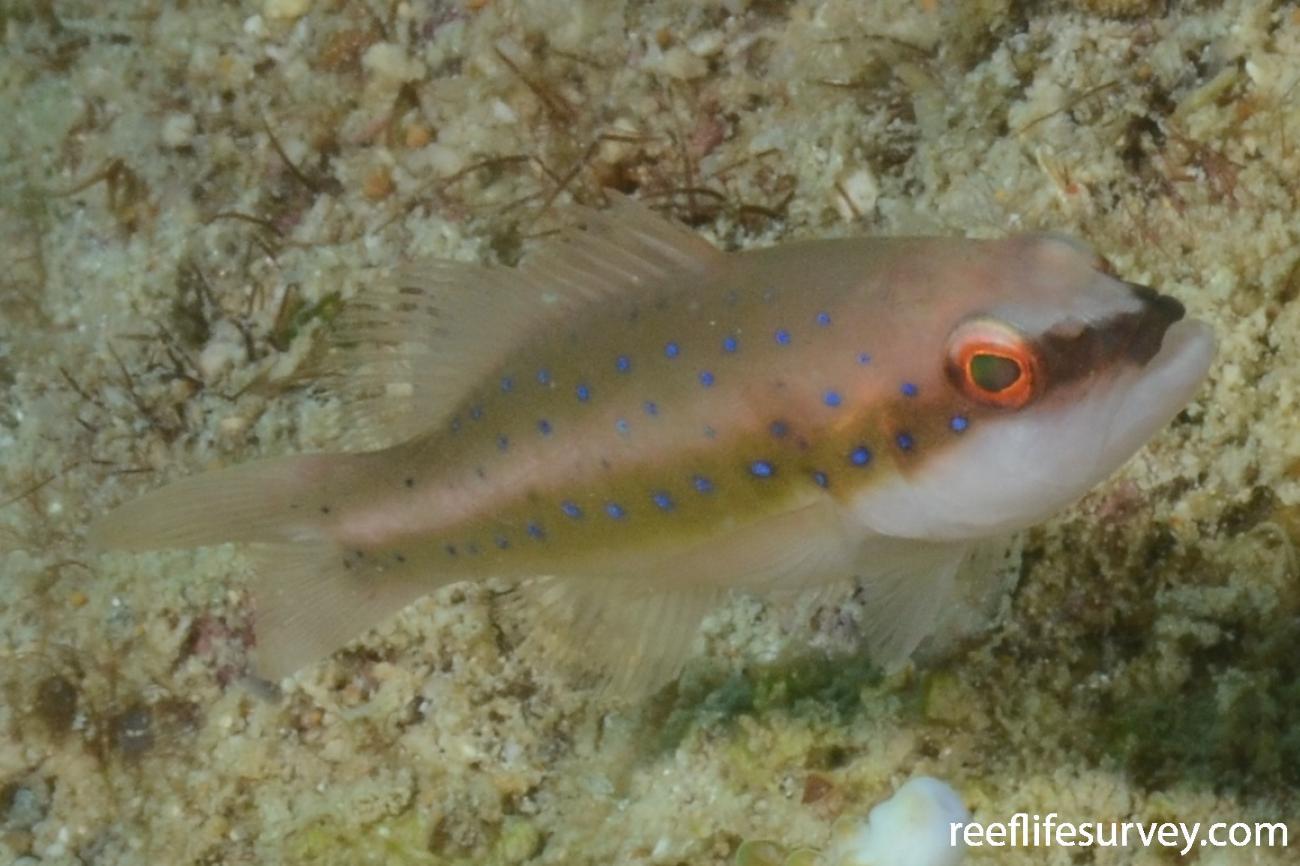 Plectropomus maculatus, Juvenile.  Photo: Graham Edgar