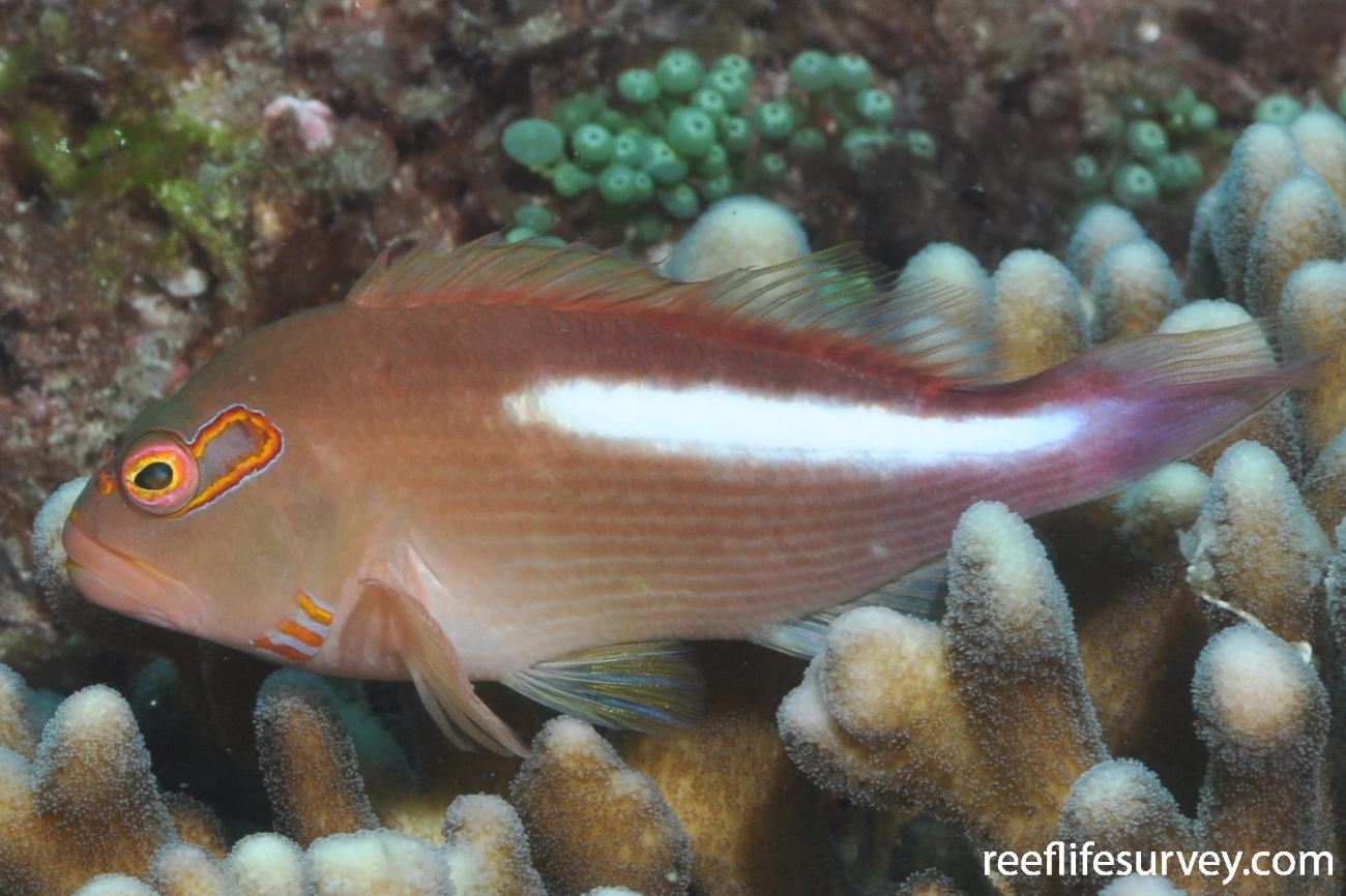 Paracirrhites arcatus, Lord Howe Island, Australia,  Photo: Rick Stuart-Smith