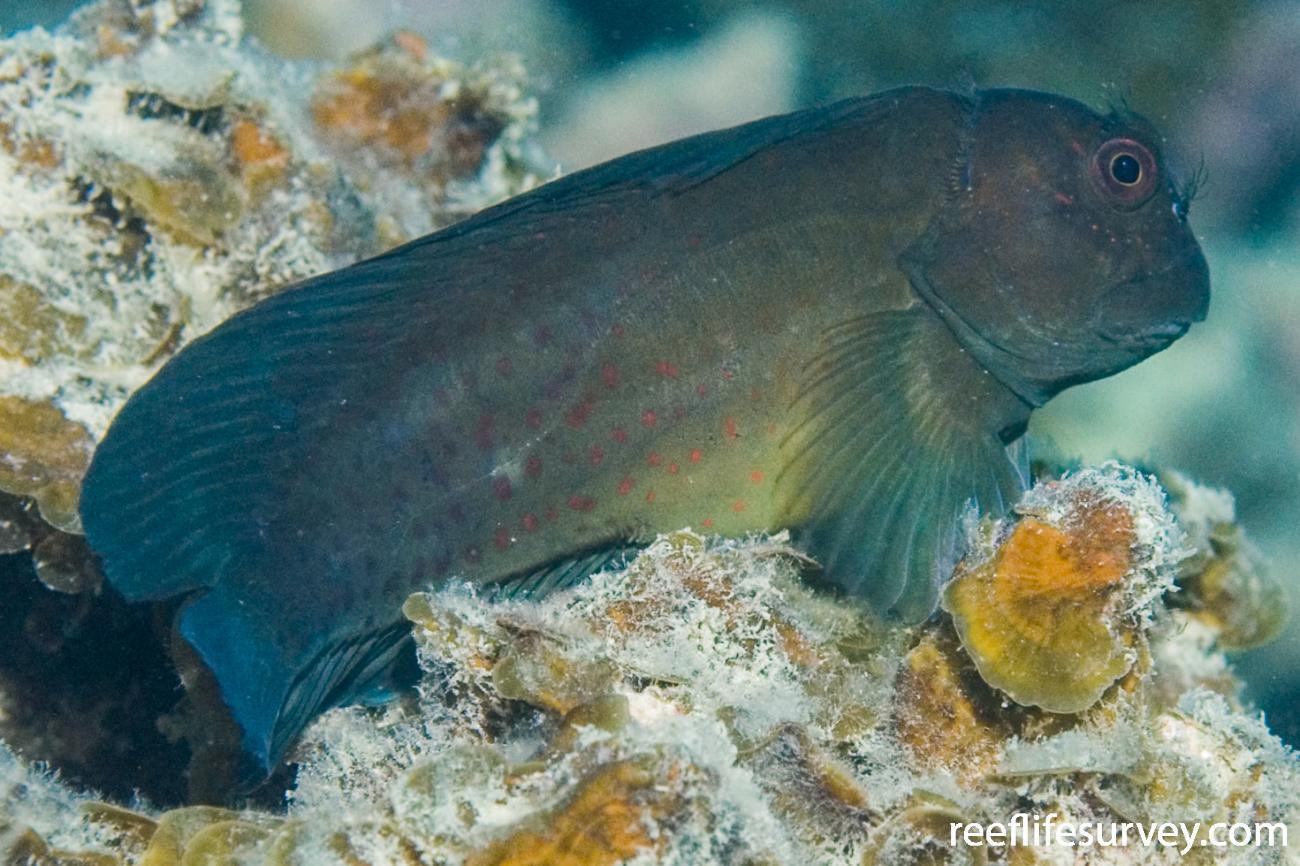 Cirripectes chelomatus, Lord Howe Is, NSW,  Photo: Andrew Green
