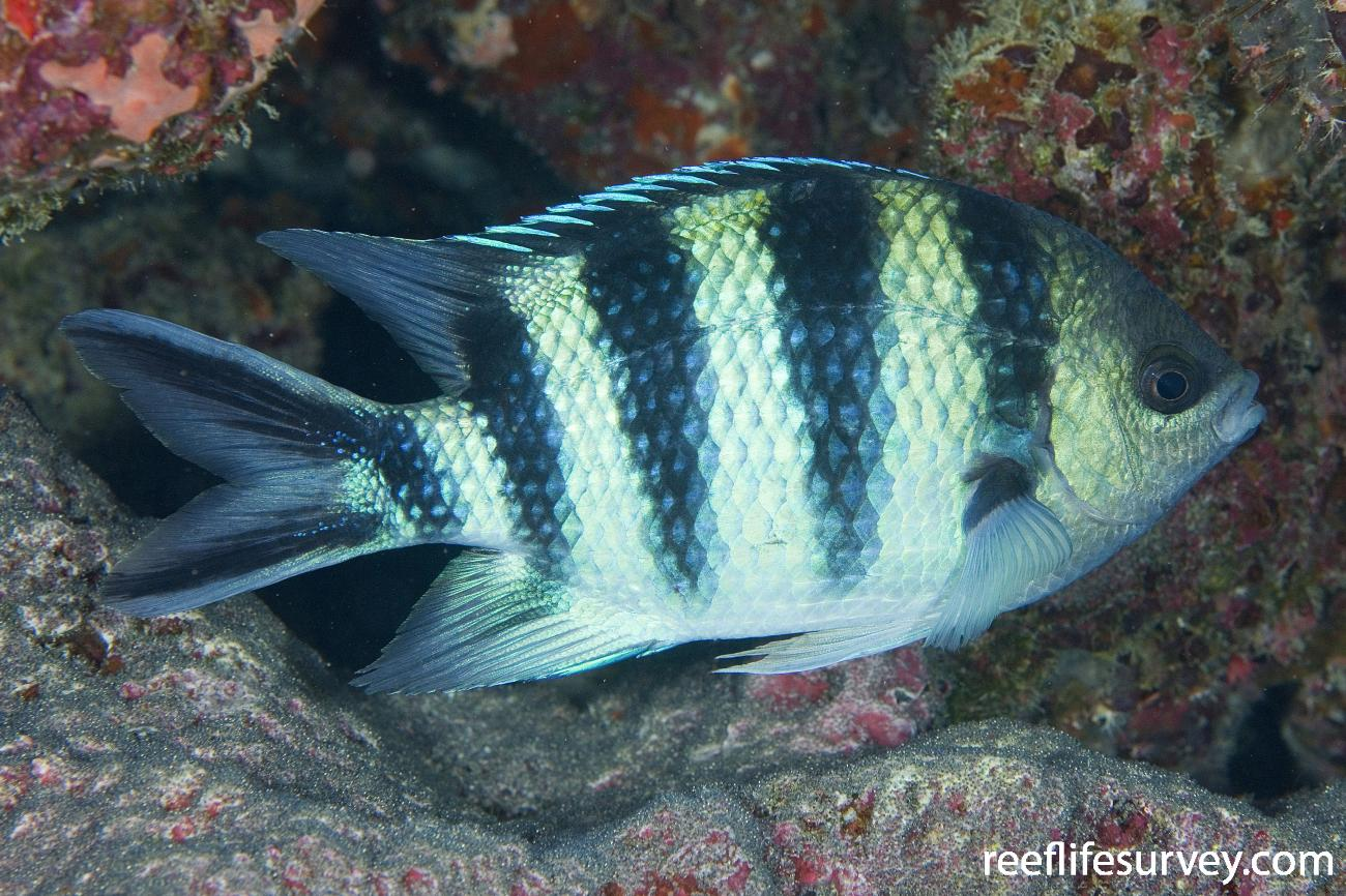 Abudefduf sexfasciatus, Naigani Is, Fiji,  Photo: Andrew Green