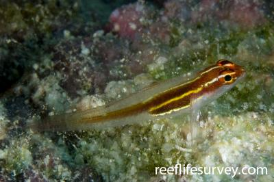 Eviota sp. [atriventris]: Raja Ampat, Indonesia,  Photo: Andrew Green