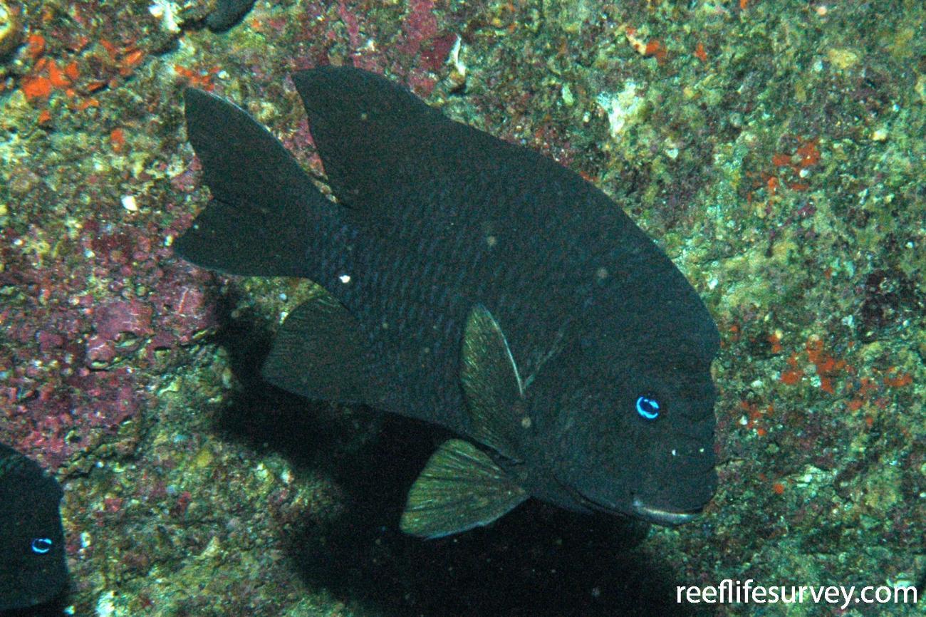 Microspathodon bairdii, Galapagos Islands, Ecuador,  Photo: Graham Edgar