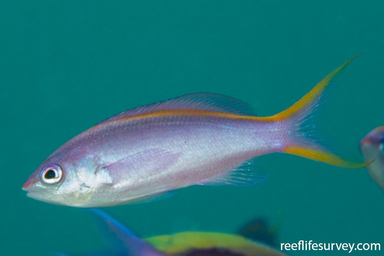 Pseudanthias tuka, Female.  Photo: Rick Stuart-Smith