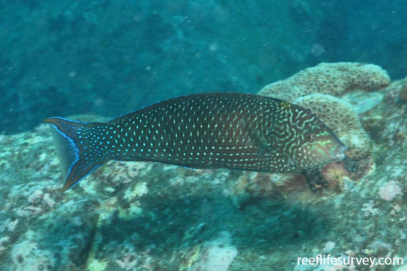 Anampses meleagrides, Male, Seychelles,  Photo: Rick Stuart-Smith