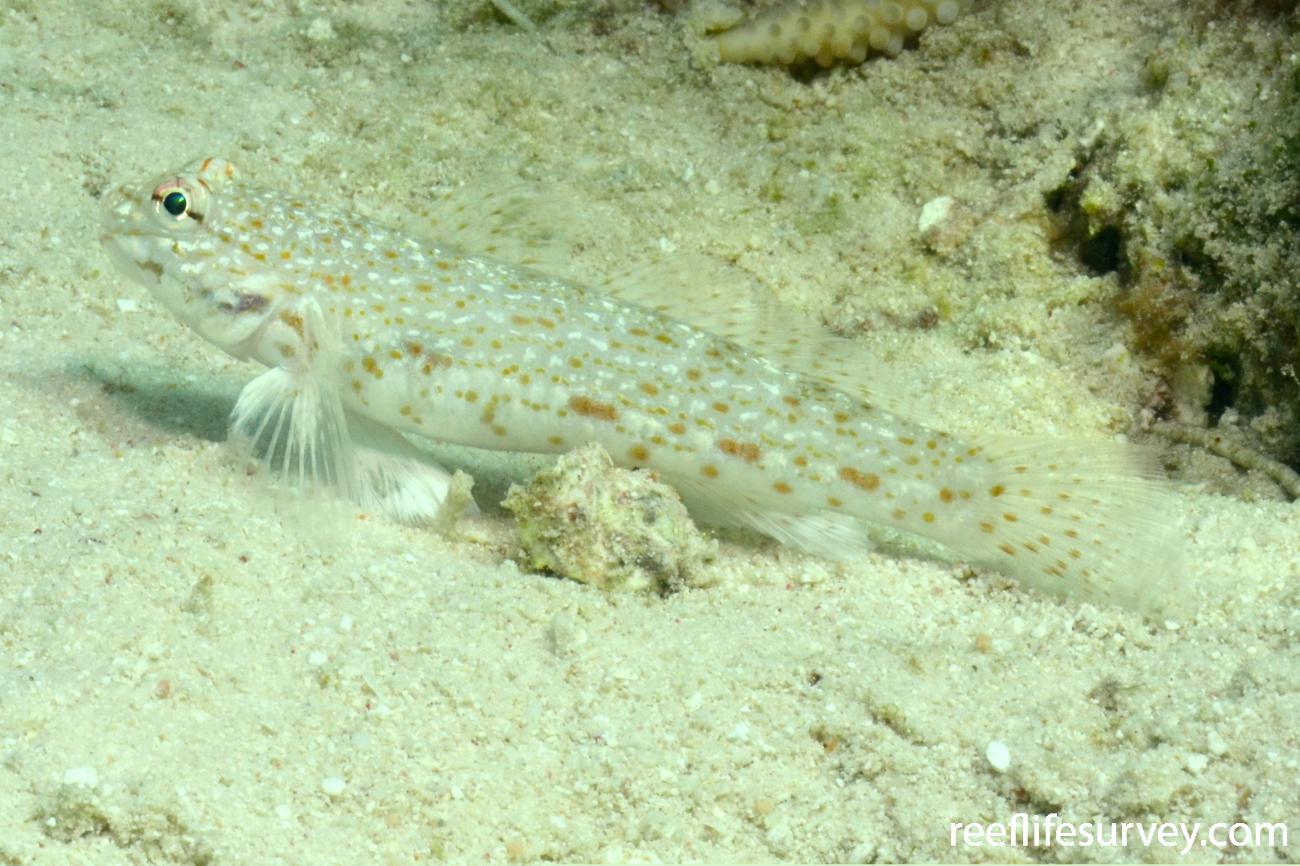 Istigobius rigilius, QLD, Australia,  Photo: Joe Shields