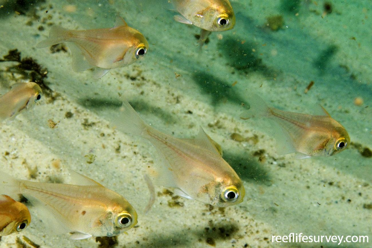Pempheris compressa, Juvenile, Port Stephens, NSW,  Photo: Andrew Green