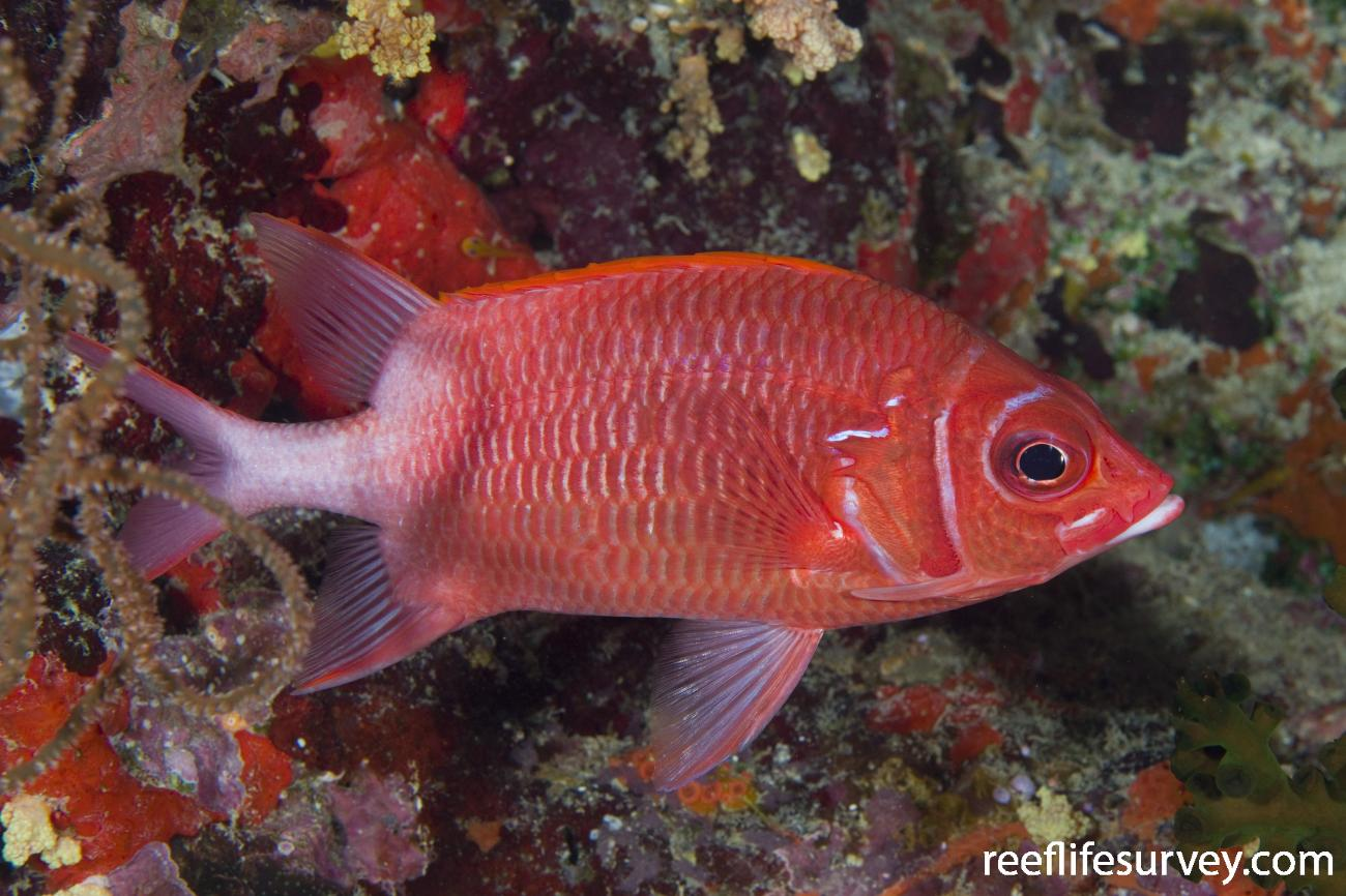 Sargocentron caudimaculatum, Naigani Is, Fiji,  Photo: Andrew Green