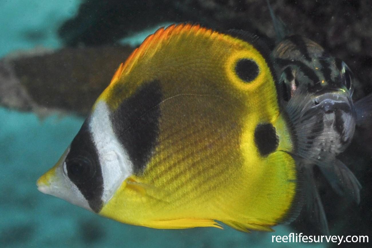 Chaetodon lunula, Juvenile.  Photo: Rick Stuart-Smith