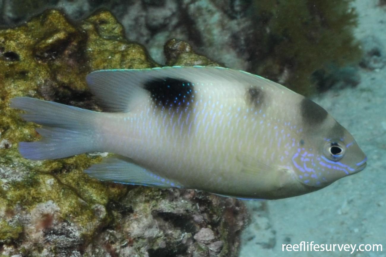 Dischistodus perspicillatus,  Photo: Rick Stuart-Smith