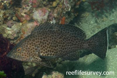 Epinephelus areolatus: Amakusa, Japan,  Photo: Graham Edgar