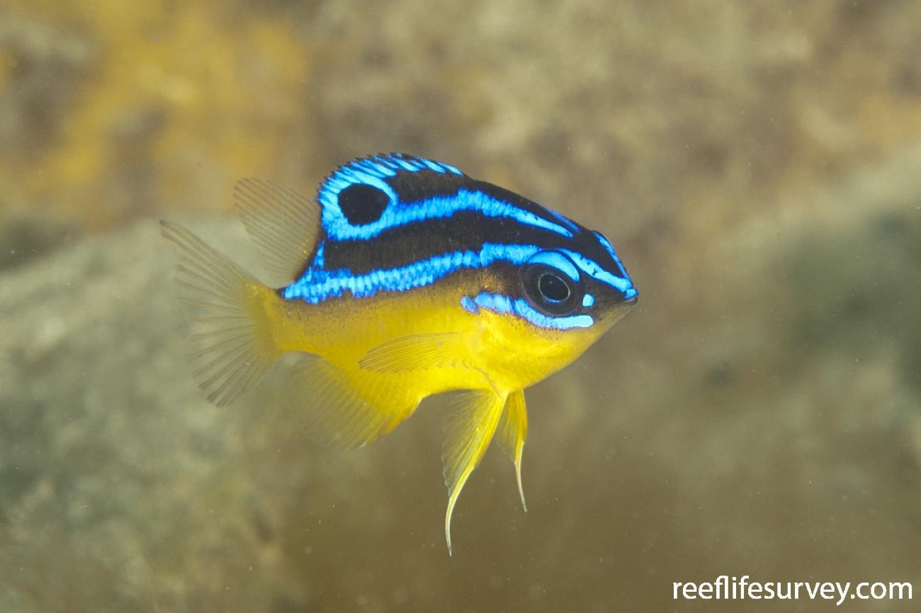Mecaenichthys immaculatus, Juvenile, Coffs Harbour, NSW,  Photo: Ian Shaw