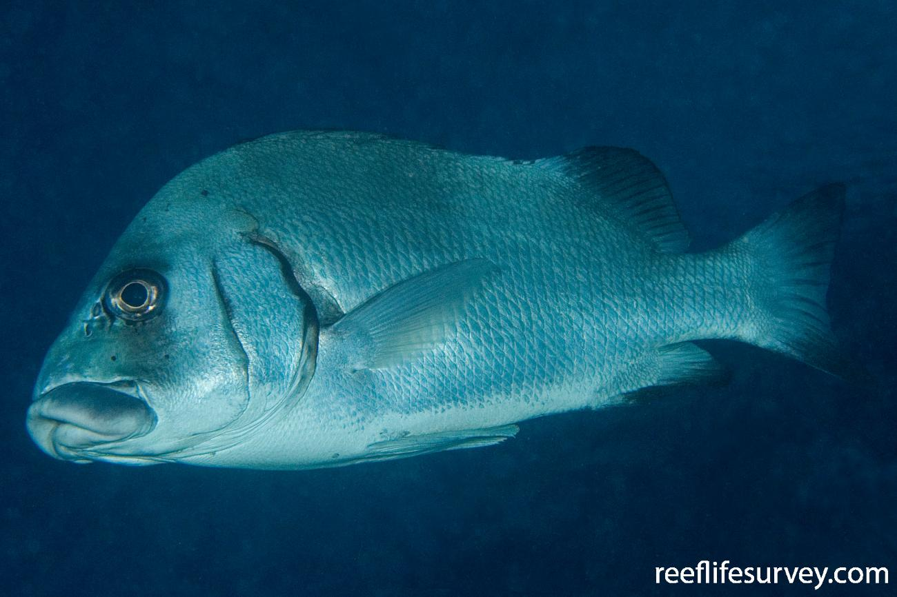 Plectorhinchus gibbosus, Great Barrier Reef, Cairns, QLD,  Photo: Andrew Green