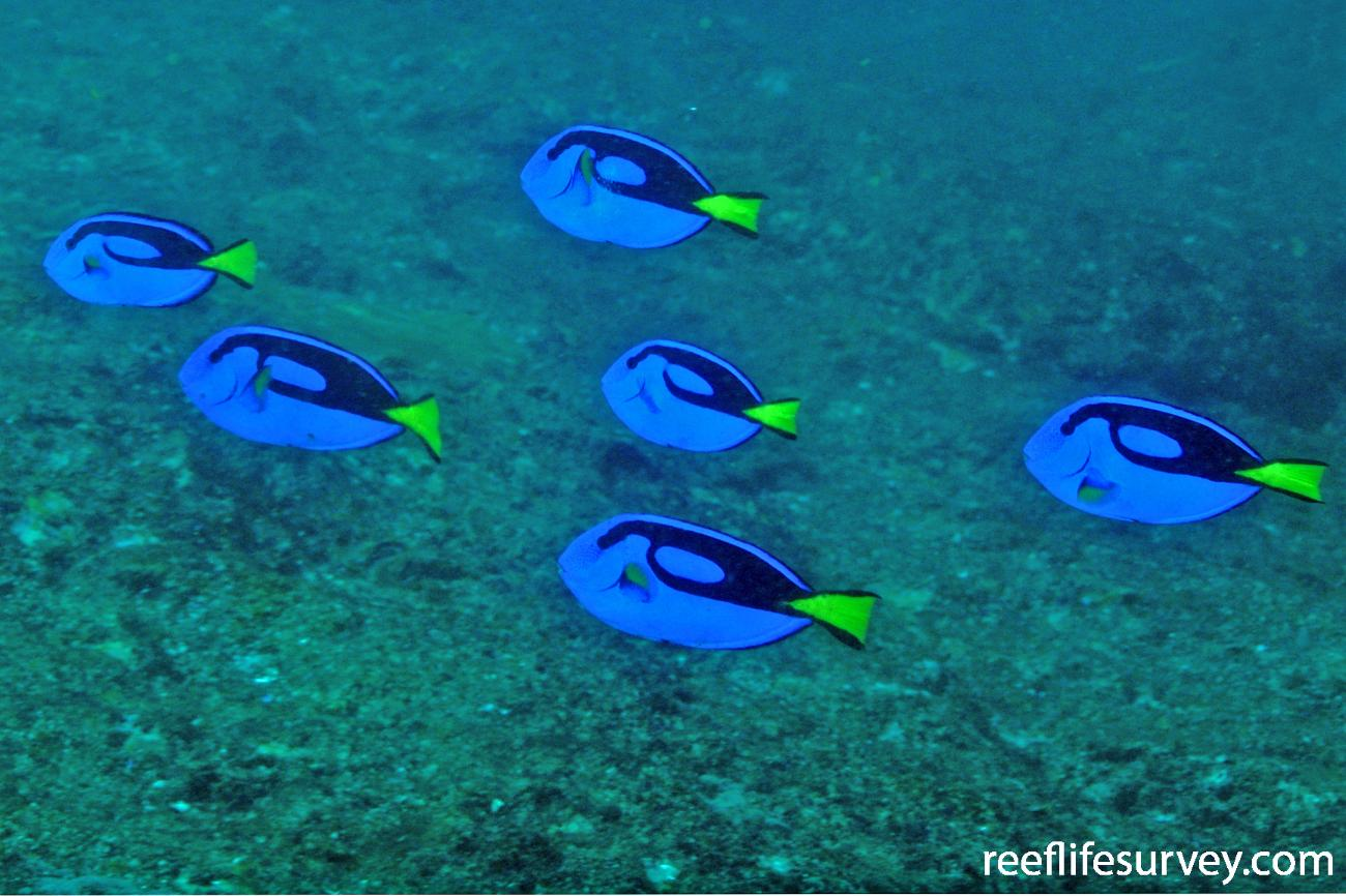 Paracanthurus hepatus, NSW, Australia,  Photo: Rick Stuart-Smith